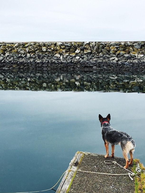 Fishing Dog on the Dock watching a sea otter~ Cordova Harbor