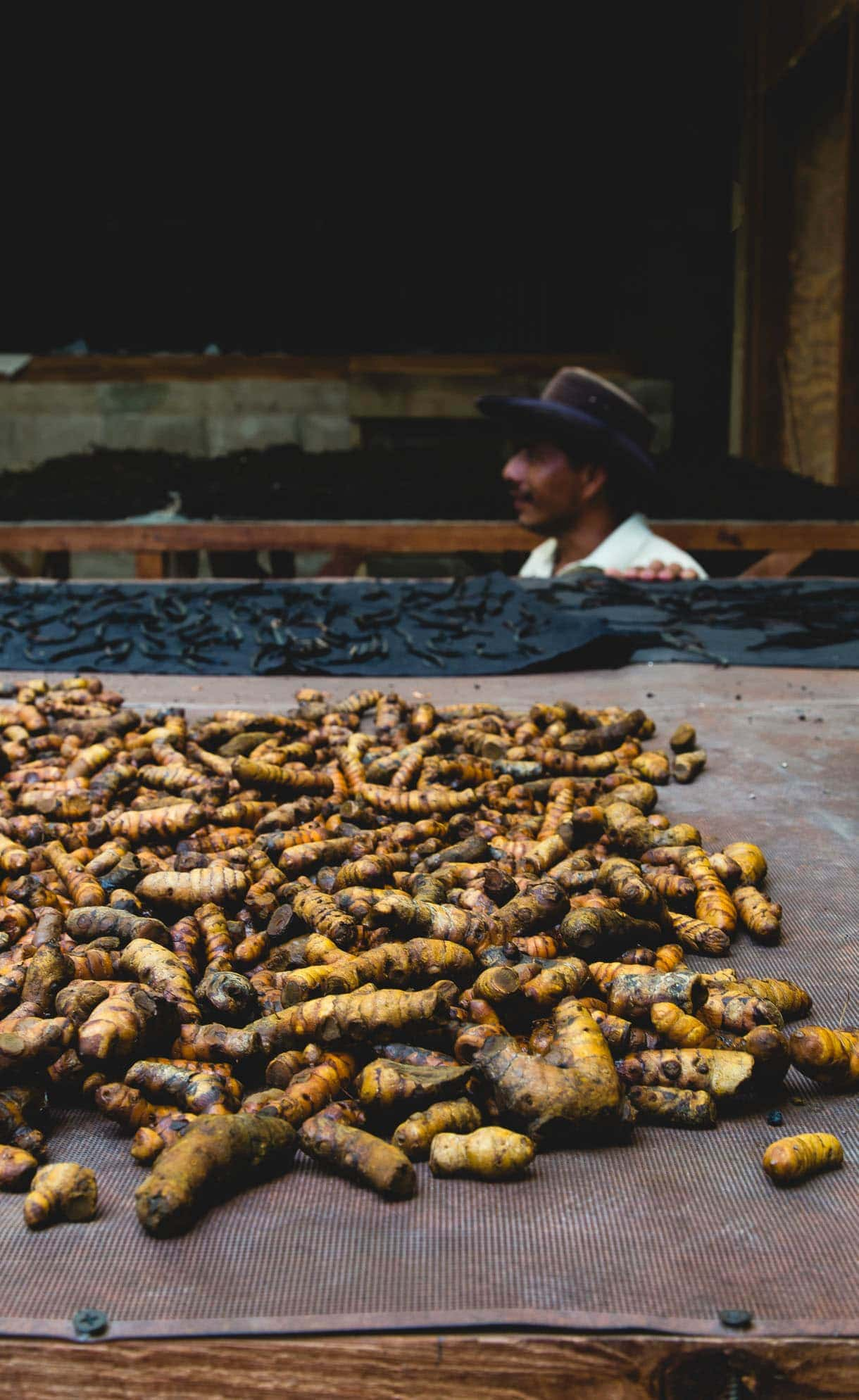 harvesting turmeric
