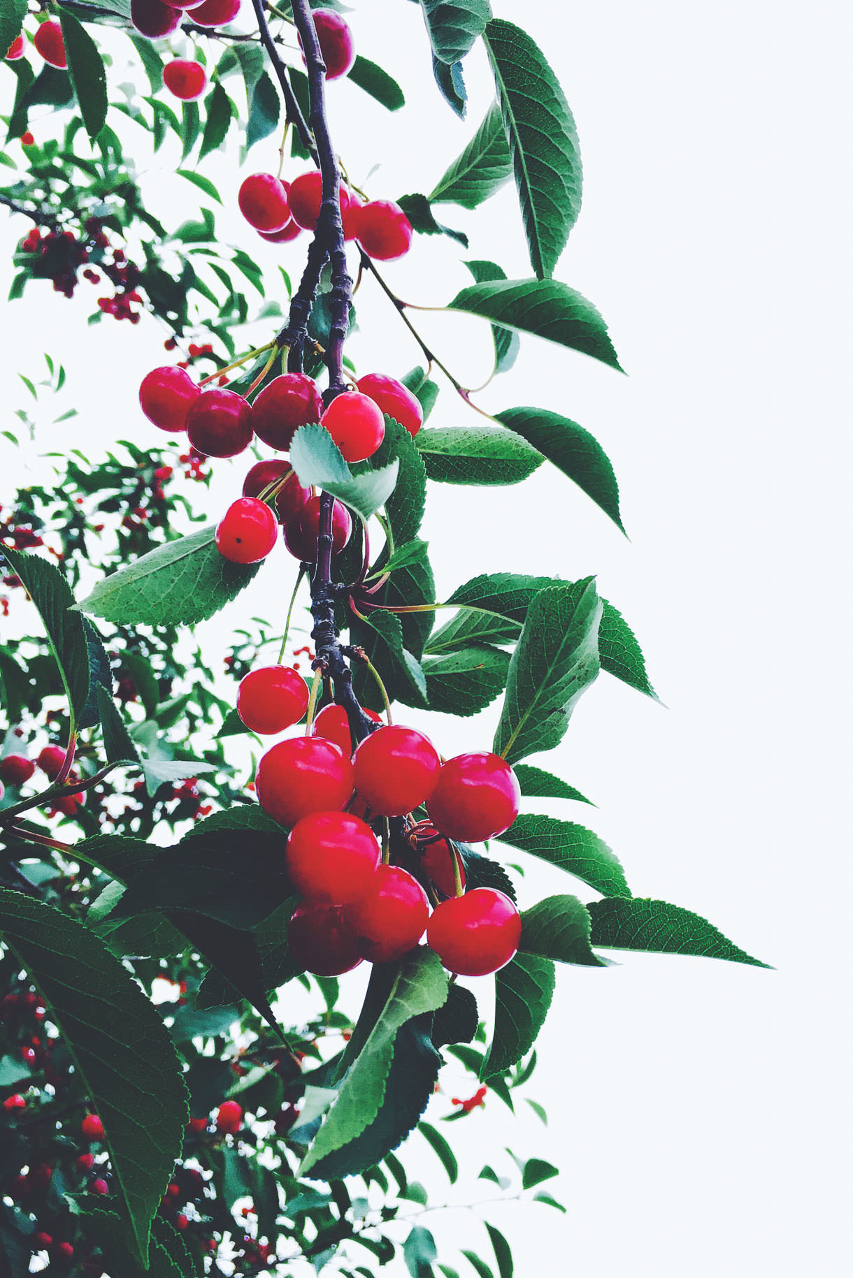 Tart Cherry Tree {michigan}
