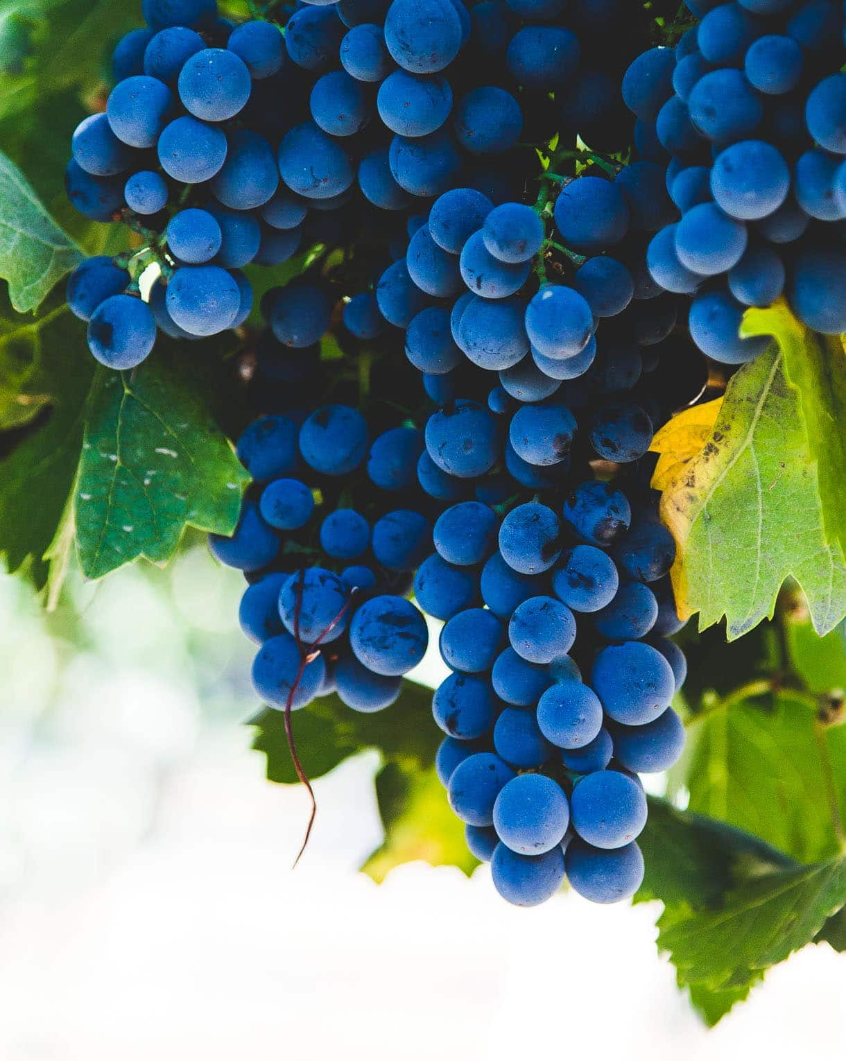 Montepulciano Grapes {lodi, california}