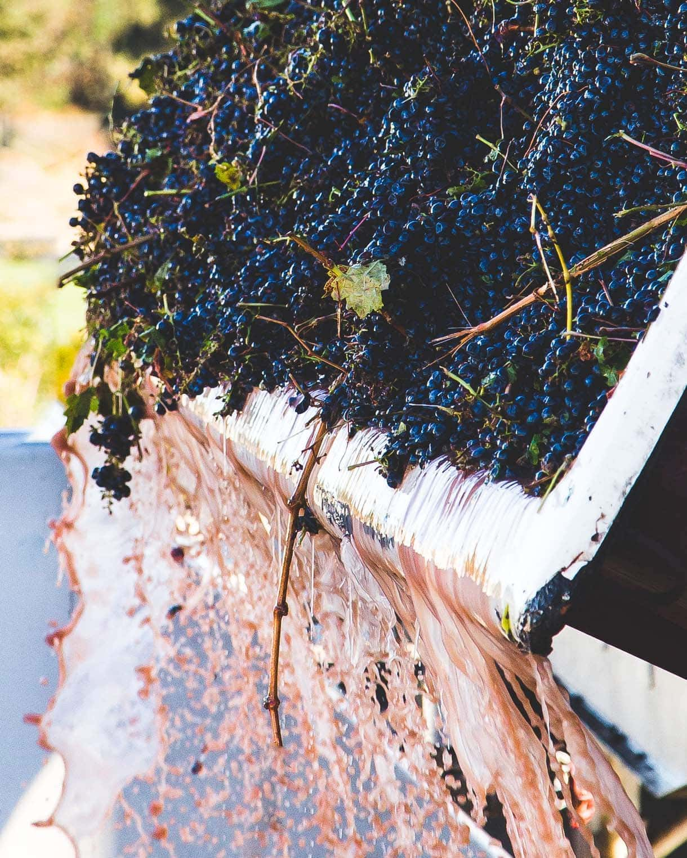 Grape Crushing, winemaking, wine harvest at Lange Twins Family Vineyard