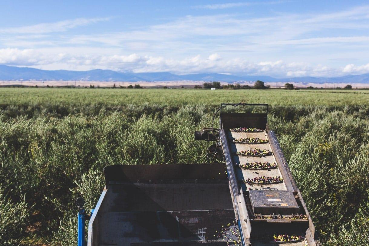 California Olive Ranch - olive harvest