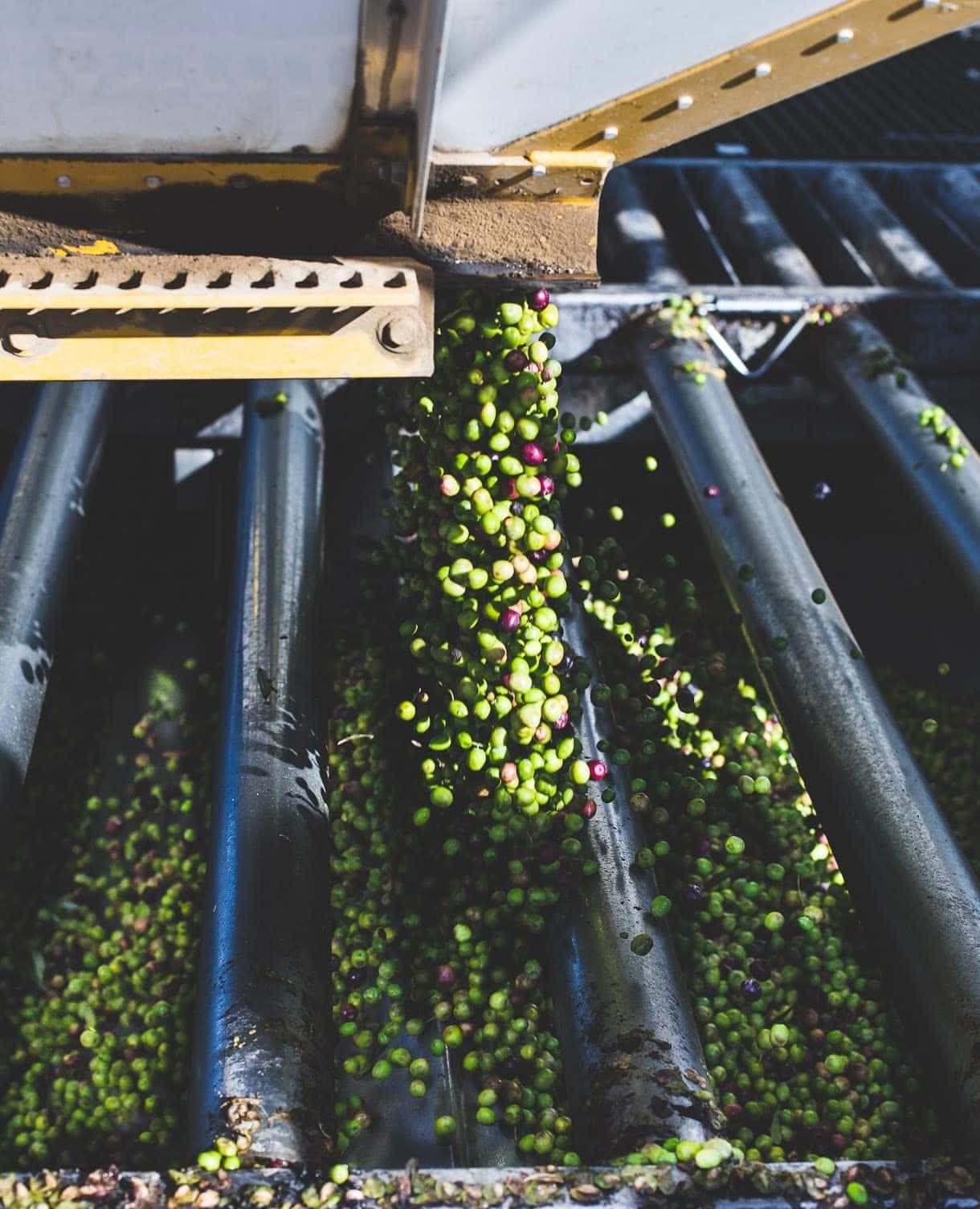 Olive Oil Harvest, California