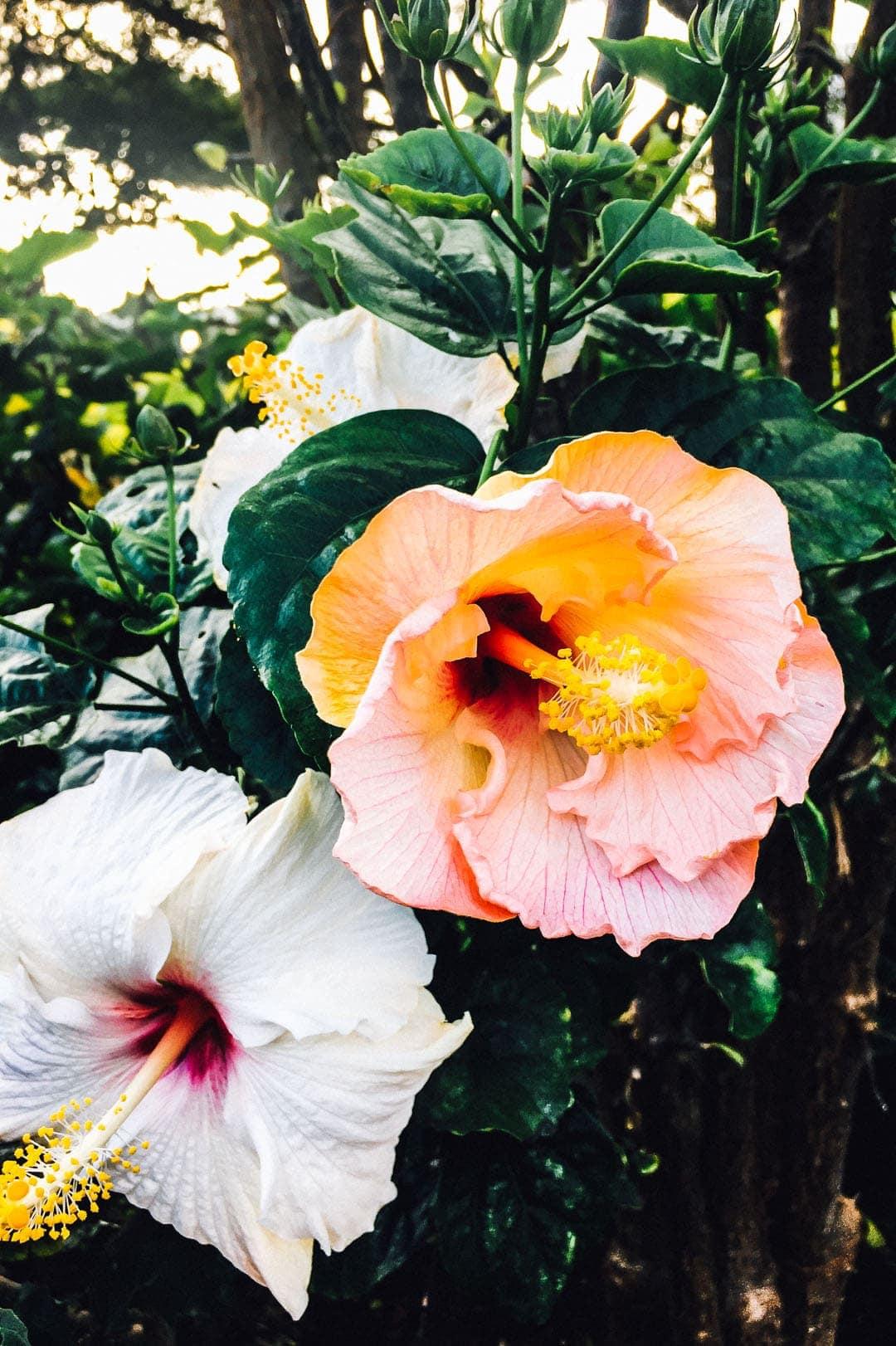 Hibiscus dancing in the sun - honolulu