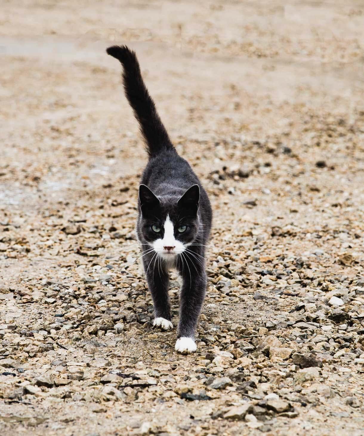 Farm cat, with white socks
