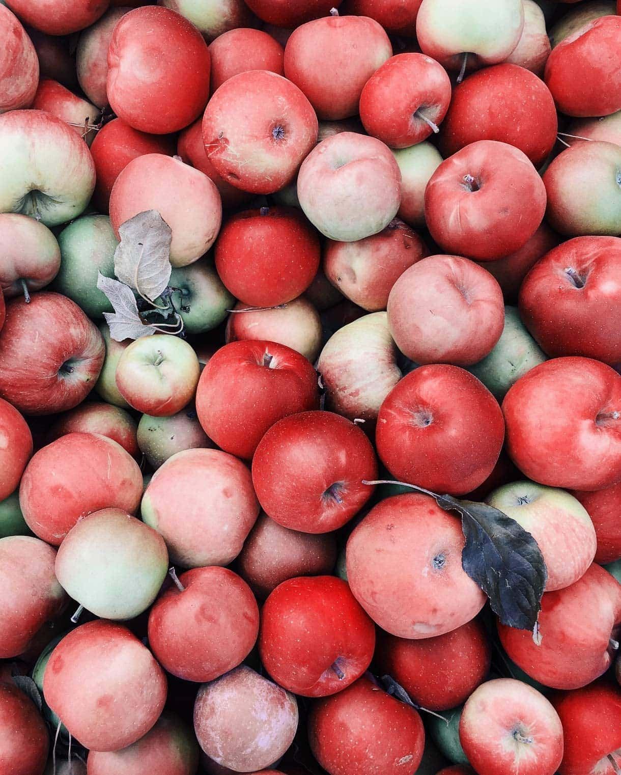 heirloom apples in fall // minnesota apples