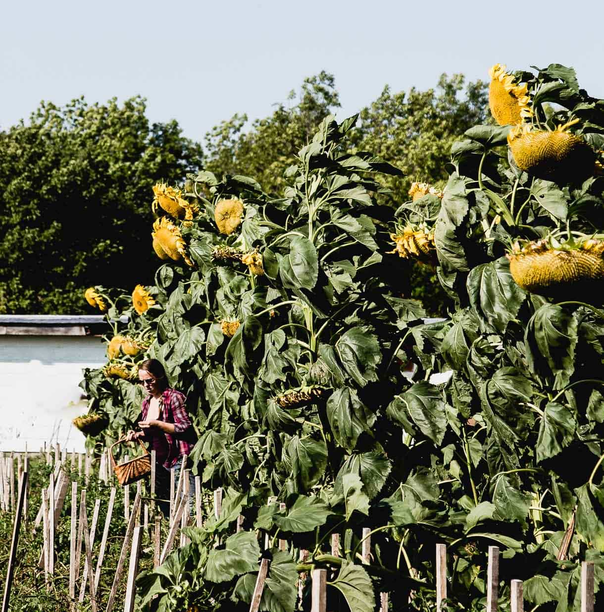 Whitemouth, Manitoba // picking vegetables // vegetable garden