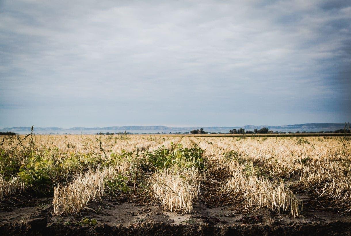 Nebraska bean fields