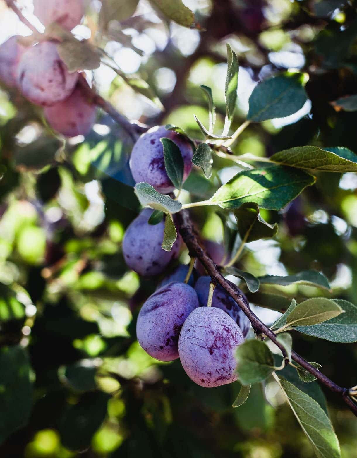 California Plums at harvest