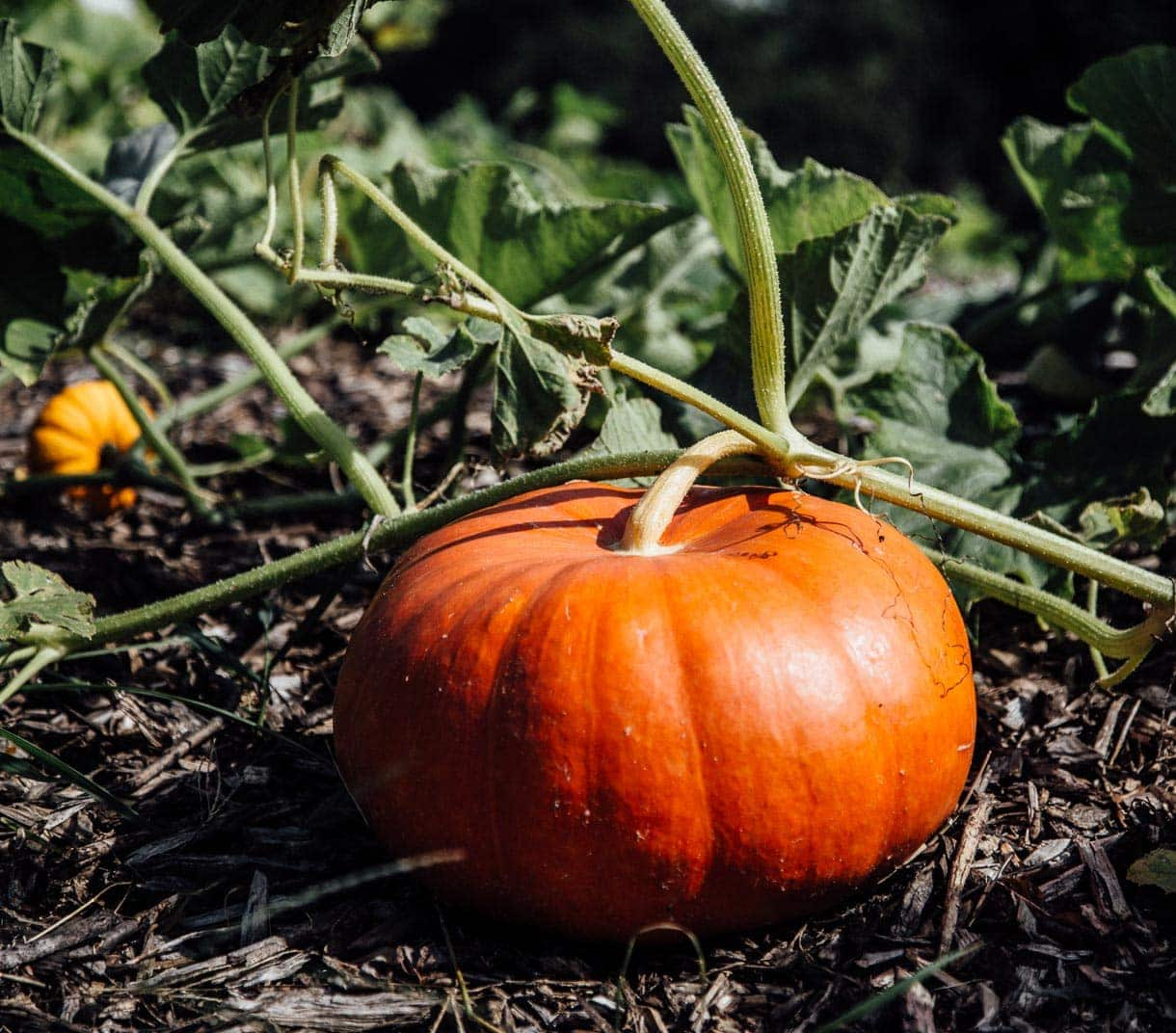 heirloom pumpkins on the vine