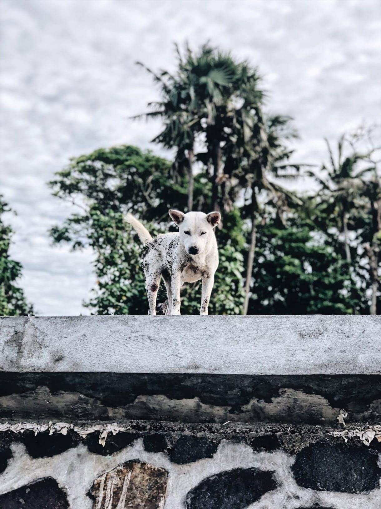 bali dog on the beach