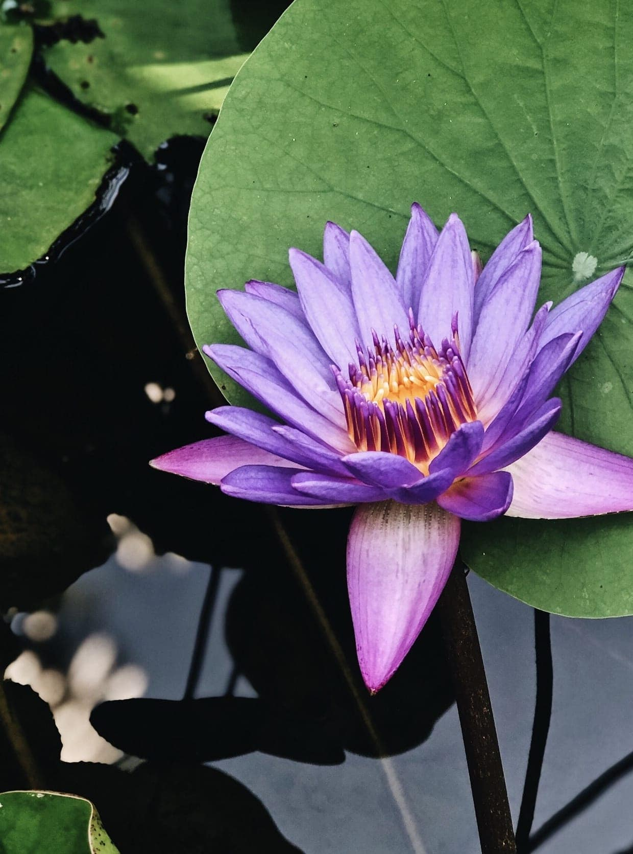 Purple Lotus Flower - Bali
