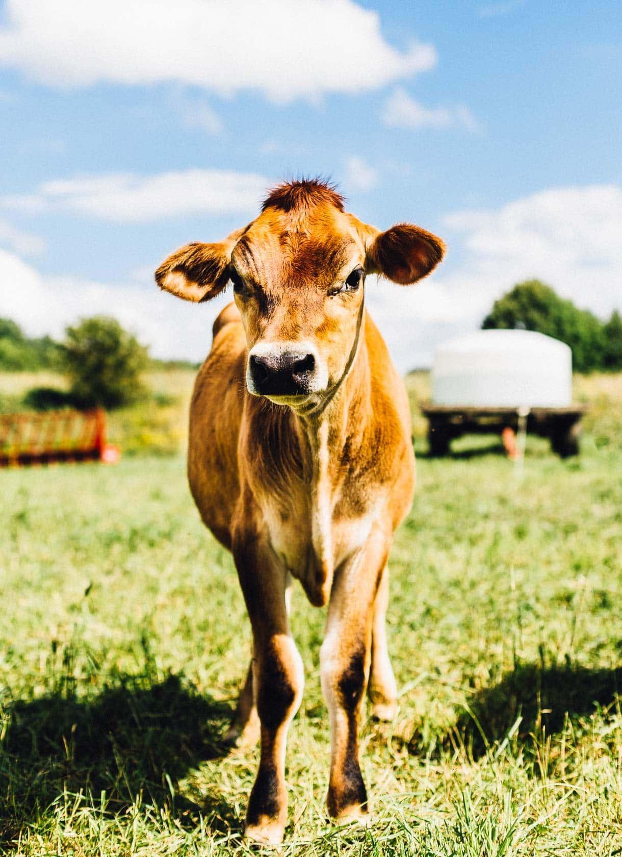 organic dairy farming, cow on vermont pasture