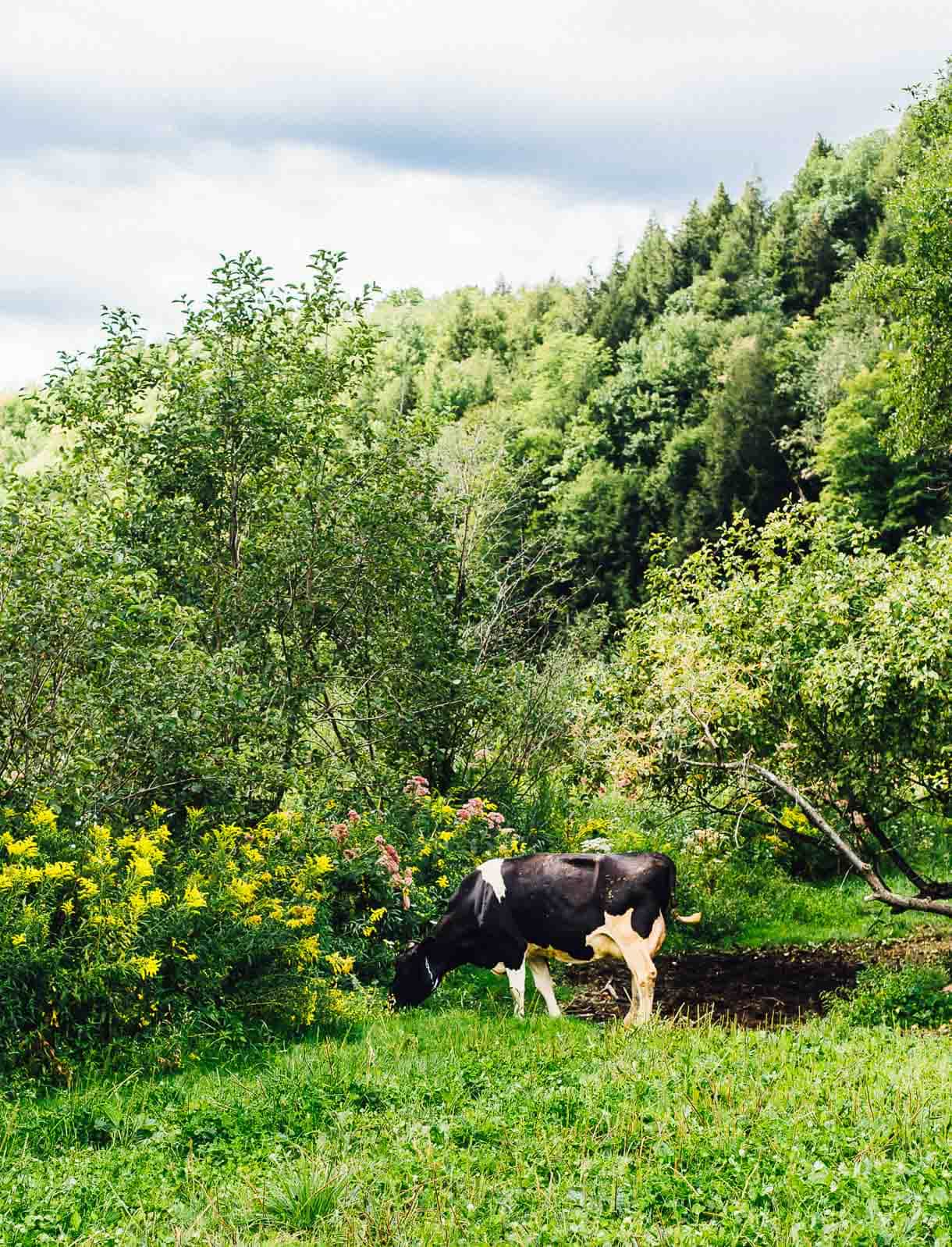 organic dairy cow in pasture
