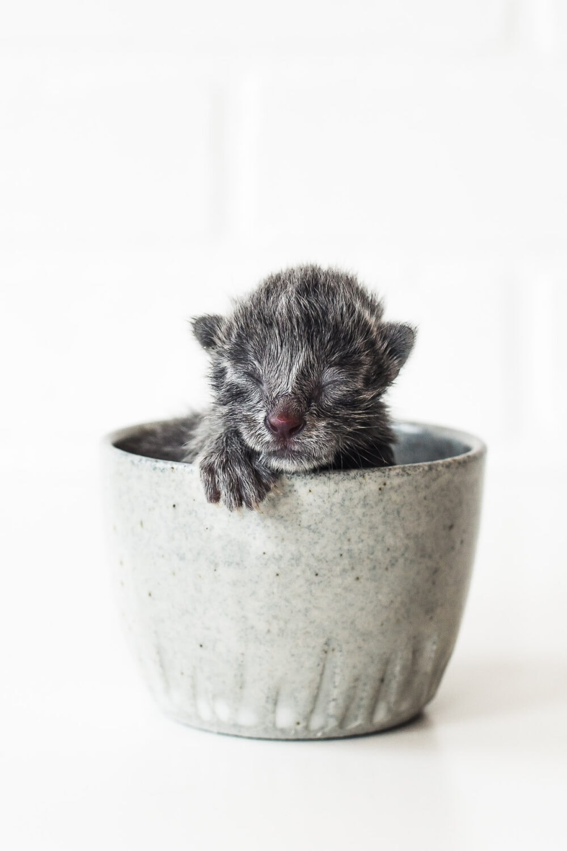tiny gray kitten in a coffee mug